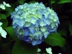 初紫陽花〜20070529(2)