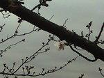 さくらプロジェクト〜20090323開花