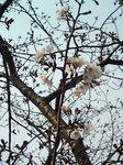 さくらプロジェクト〜20090327開花