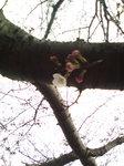 さくらプロジェクト〜20090331開花