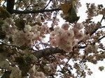 八重桜〜20090417