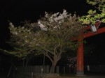 夜桜〜20100413全景