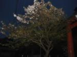 マイ桜〜20100414全景