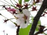 葉桜〜20100415接写
