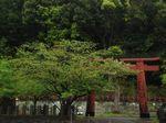 雨桜〜20100419全景