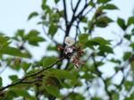 マイ桜〜20100424接写
