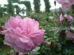薔薇〜20110505