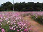 展海峰の秋桜〜20111016