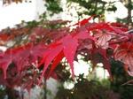 家紅葉〜20121120-1121