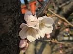 開花〜20140323