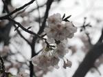 マイ桜開花〜20140325壱