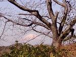 富士桜〜20080322-1