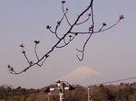富士桜〜20080322-2