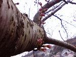 マイ桜〜20080323