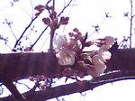 開花〜20080325-1