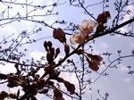開花〜20080325-2