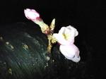 定点観測の蕾開花〜20080326-1