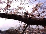 八分咲き〜20080327