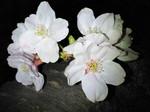 夜桜〜20080330ー1