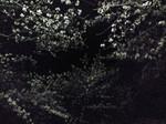 夜桜〜20080330ー2