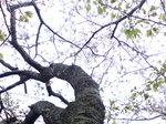 マイ桜〜20080413-3