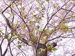 葉桜〜20080415-3