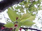 葉桜〜20080417-1