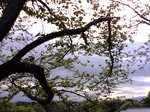 葉桜〜20080419-1