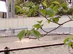 サクランボ〜20080425-2