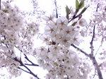内地へ・桜〜20080427-1