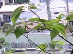 サクランボ〜20080428-2