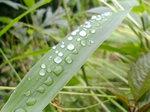 五月雨の雫〜20080530
