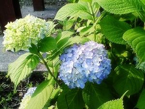 紫陽花〜20060530(2)