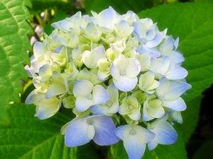 紫陽花〜20060530(3)