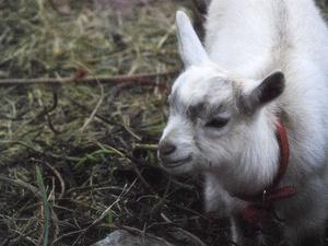 山羊〜20111016-17-03