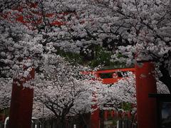 桜〜20140401壱