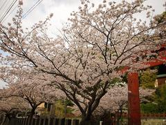 桜〜20140401弐