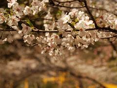 桜〜20140401参