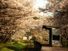 桜〜20140401四