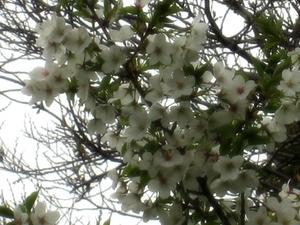 桜〜20070327(7)