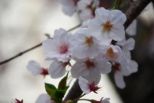 桜〜20070408(3)