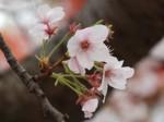 マイ桜〜20100404定点