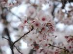 マイ桜〜20100404接写