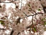 マイ桜〜20100406接写