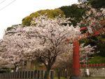 マイ桜〜20100406全景