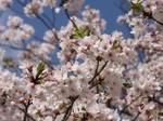 桜プロジェクト〜20100407接写