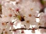 マイ桜〜20100409接写