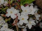 夜桜〜20100410接写