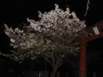 夜桜〜20100410全景