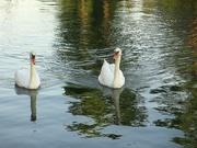 白鳥〜20130722